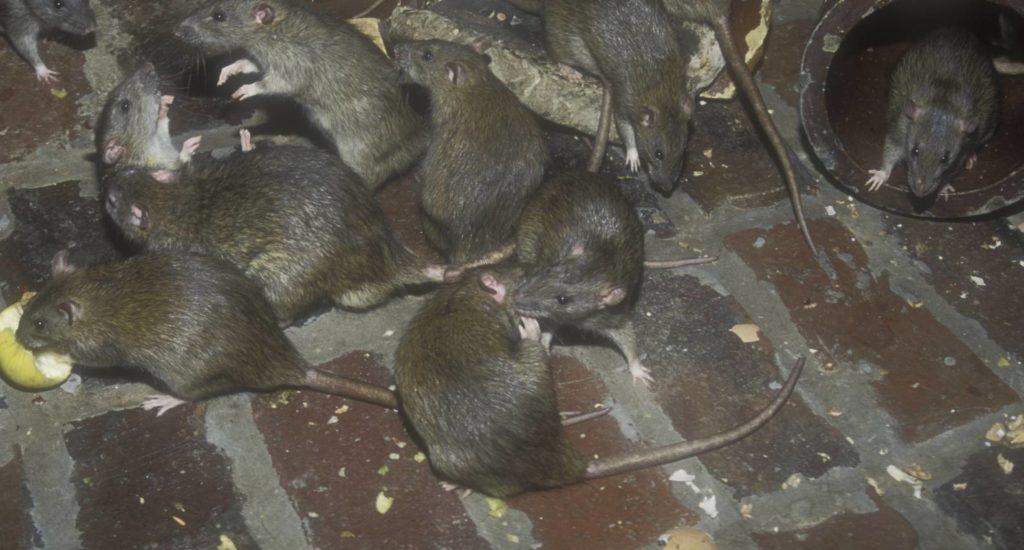 уничтожение крыс в Камышине