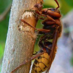 Уничтожение шершней в Камышине